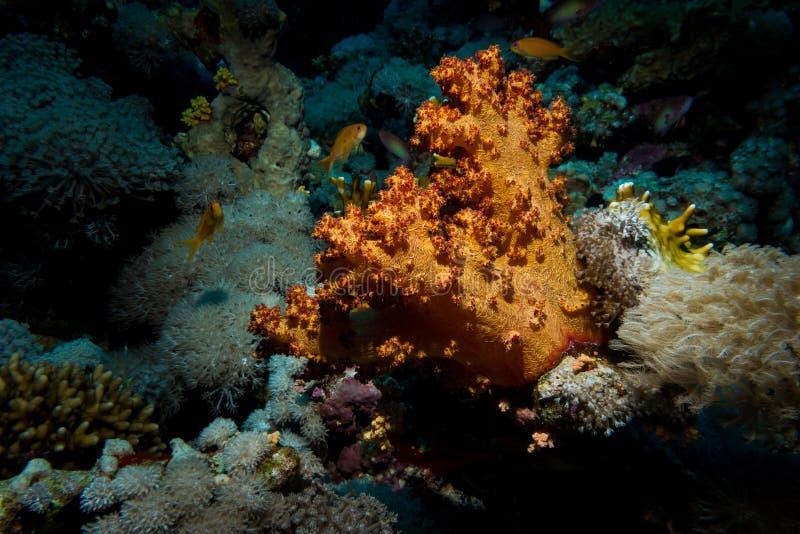 在礁石的美好的珊瑚 库存图片