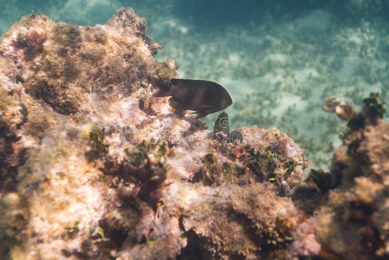在礁石的Longfin雀鲷 库存照片