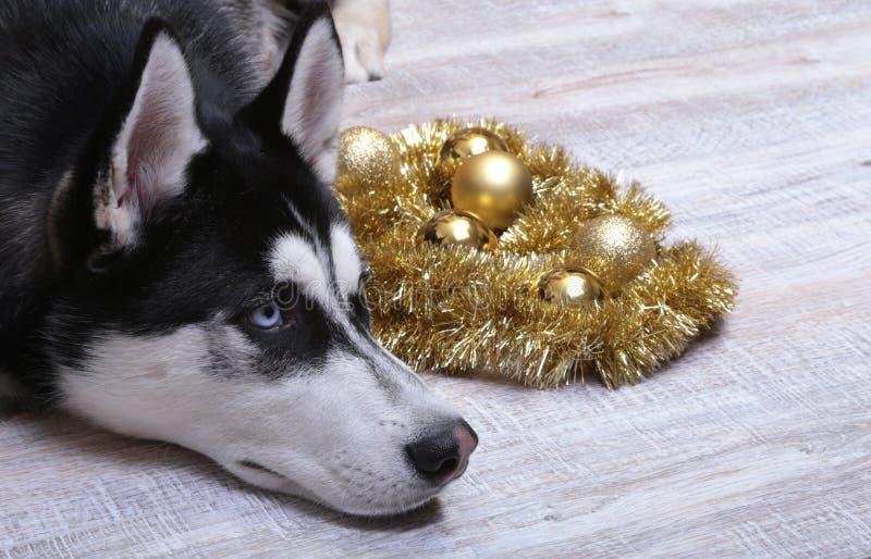 在礼物盒、五颜六色的球和圣诞树附近的西伯利亚爱斯基摩人狗 免版税图库摄影