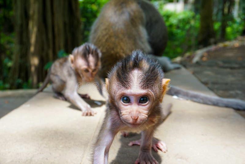 在神圣的猴子森林Ubud,巴厘岛,印度尼西亚的可爱的小的小短尾猿猴子 库存图片