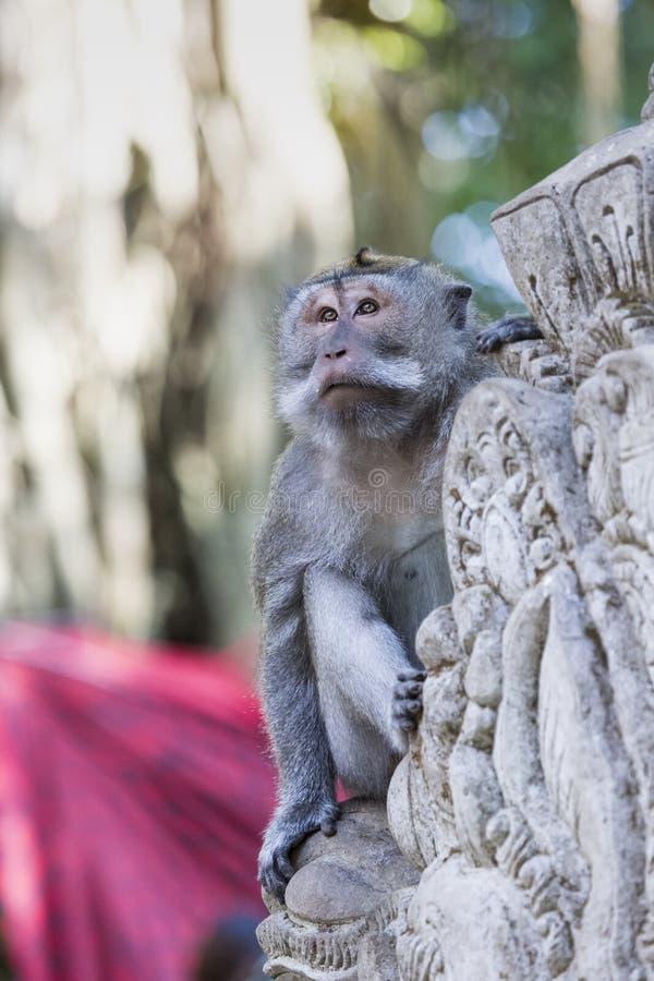 在神圣的猴子森林, Ubud,巴厘岛,印度尼西亚的猴子 免版税库存照片