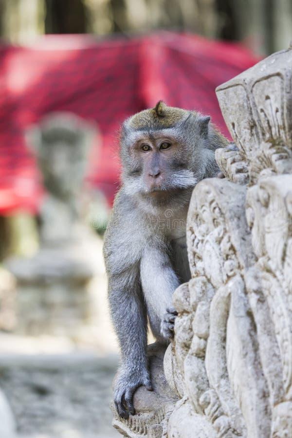 在神圣的猴子森林, Ubud,巴厘岛,印度尼西亚的猴子 库存照片