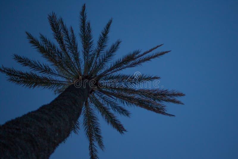在神色的高棕榈树在天空蔚蓝下的角度 新鲜的叶状体叶子和热带植物粗砺的吠声  词根和 免版税库存照片