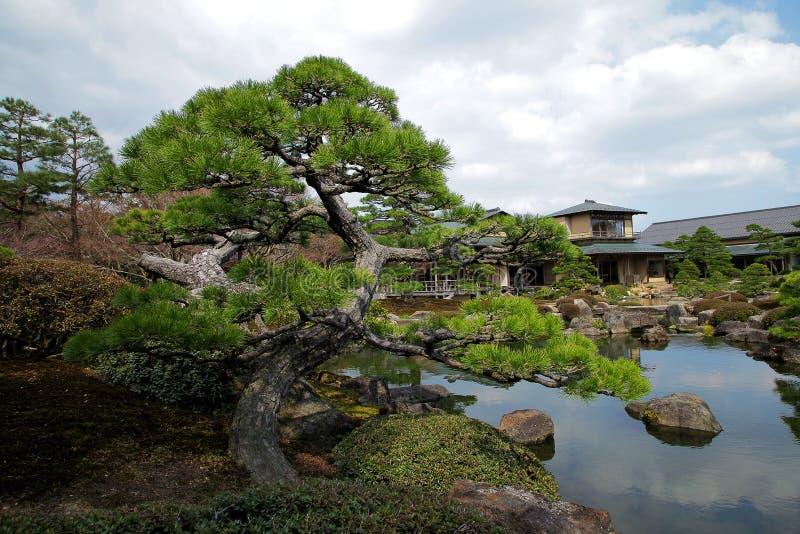 在禅宗庭院旁边池塘的扭转的杉树  免版税库存图片