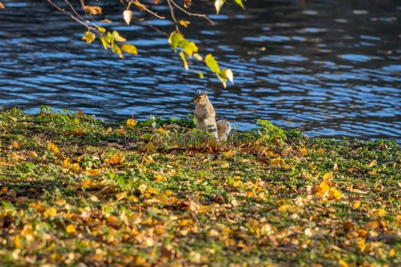 在秋叶的灰鼠 免版税库存照片