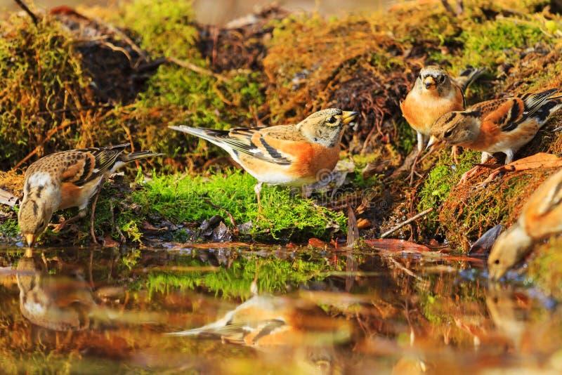 在秋天下落的叶子中的森林鸟 免版税库存照片