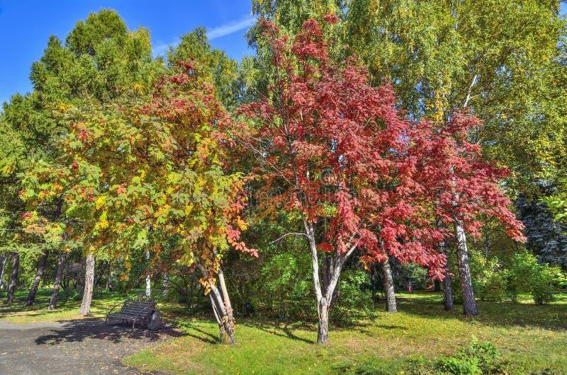 在秋天公园换下场在欧洲花楸下multicilored叶子  免版税库存图片