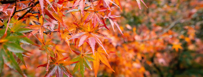 在秋天好日子在前景和模糊的背景的美丽的枫叶在九州,日本 没有人,关闭,拷贝空间, 免版税库存图片
