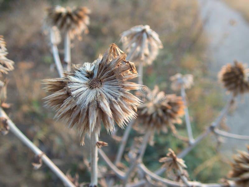 在秋天季节的尖刻的地球蓟 免版税图库摄影