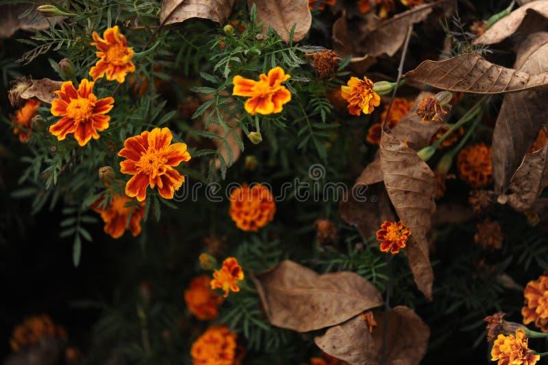 在秋天季节的橙色万寿菊花 免版税库存照片
