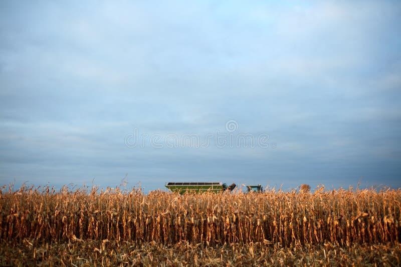 在秋天收获玉米庄稼 免版税图库摄影
