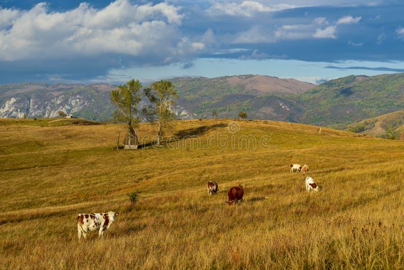 在秋天时间的特兰西瓦尼亚风景与母牛和老木传统客舱 免版税库存照片