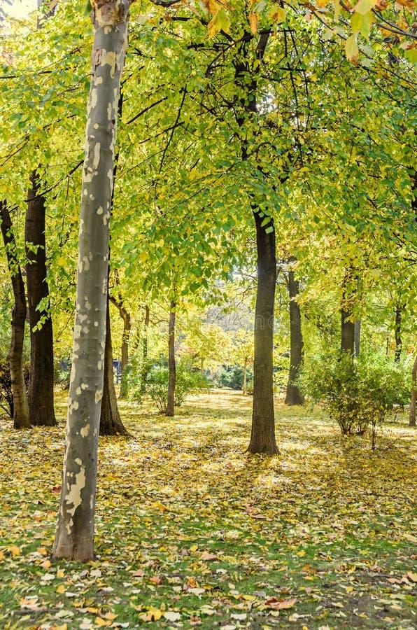 在秋天时间的色的橙黄树,叶子,蓝天 免版税库存照片