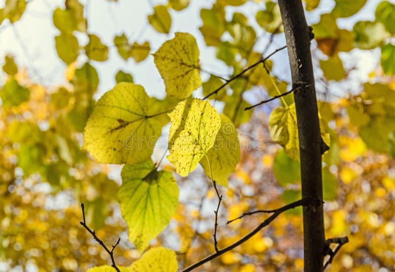 在秋天时间的色的橙黄树,叶子,蓝天 库存图片