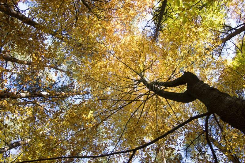 在秋天晴天,在分支的叶子充满活力的颜色期间山毛榉和杉木落叶林 免版税库存照片