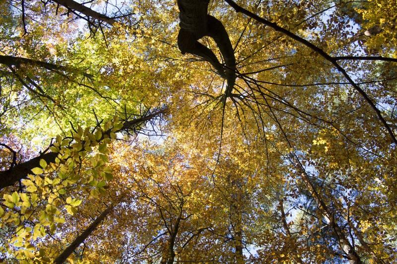 在秋天晴天,在分支的叶子充满活力的颜色期间山毛榉和杉木落叶林 库存图片