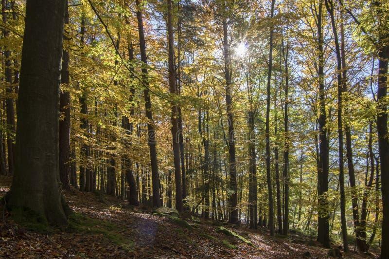 在秋天晴天,在分支的叶子充满活力的颜色期间山毛榉落叶林,留下细节反对太阳 免版税库存照片