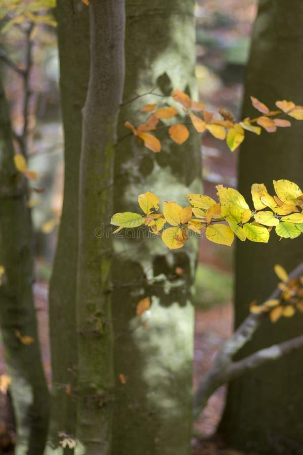 在秋天晴天,在分支的叶子充满活力的颜色期间山毛榉落叶林,离开细节 免版税库存图片