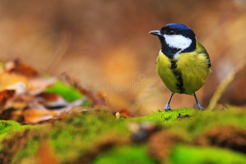 在秋天飞鱼中的森林的伟大的山雀dacom颜色p10v飞鱼图片