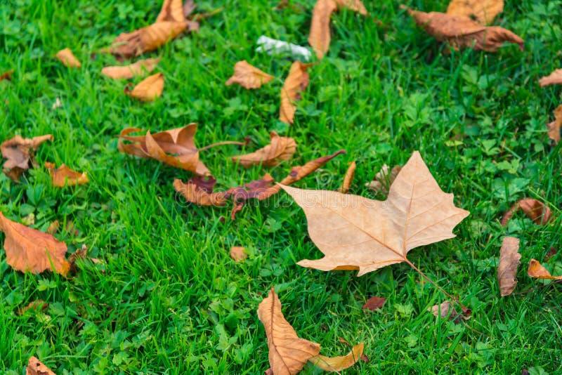 在秋天槭树下的充满活力的绿草离开地面秋天季节 免版税库存照片
