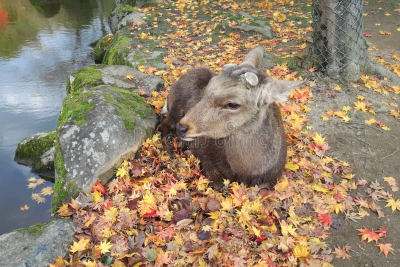 在秋天槭树的鹿睡眠离开靠近沼泽在奈良公园,日本 免版税库存图片