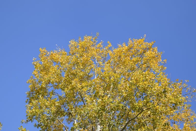 在秋天油漆的银色白杨树反对天空蔚蓝 库存图片