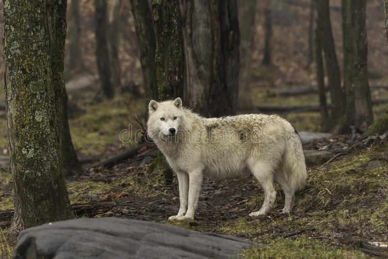 在秋天的一头孤立北极狼 免版税库存照片