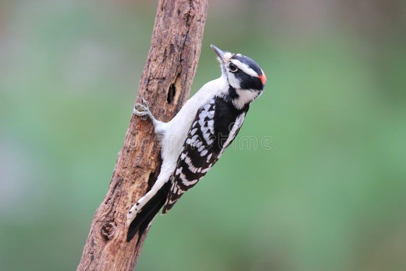 在秋天的公柔软的啄木鸟 库存图片