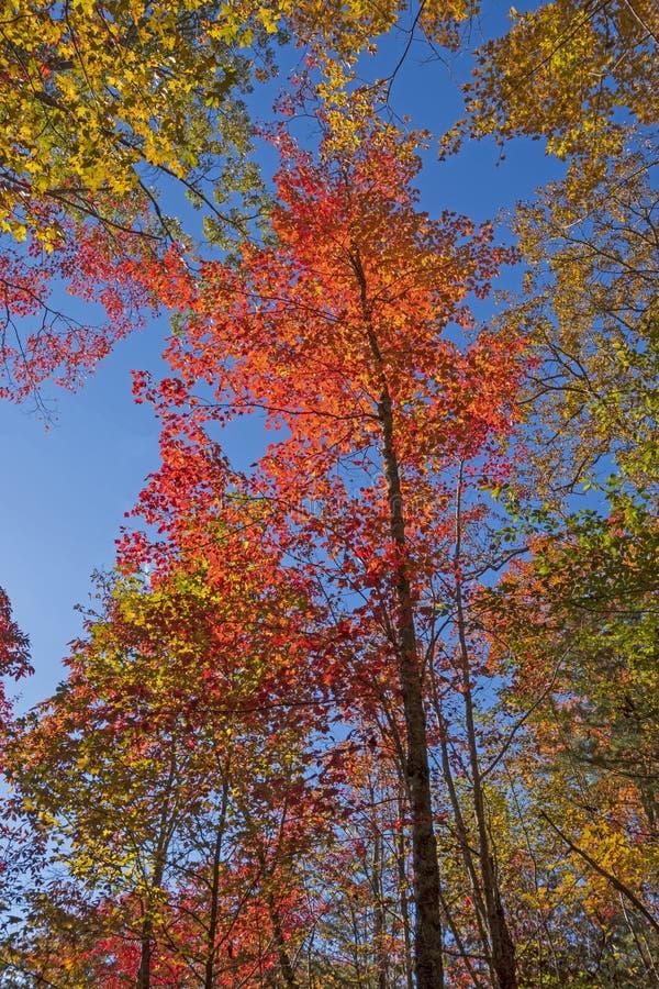 在秋天的壮观的红槭 库存图片