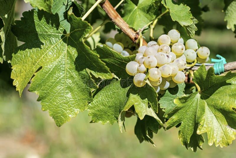 在秋天的有机白葡萄 从藤的成熟葡萄吊 日落的葡萄园在秋天收获 图库摄影