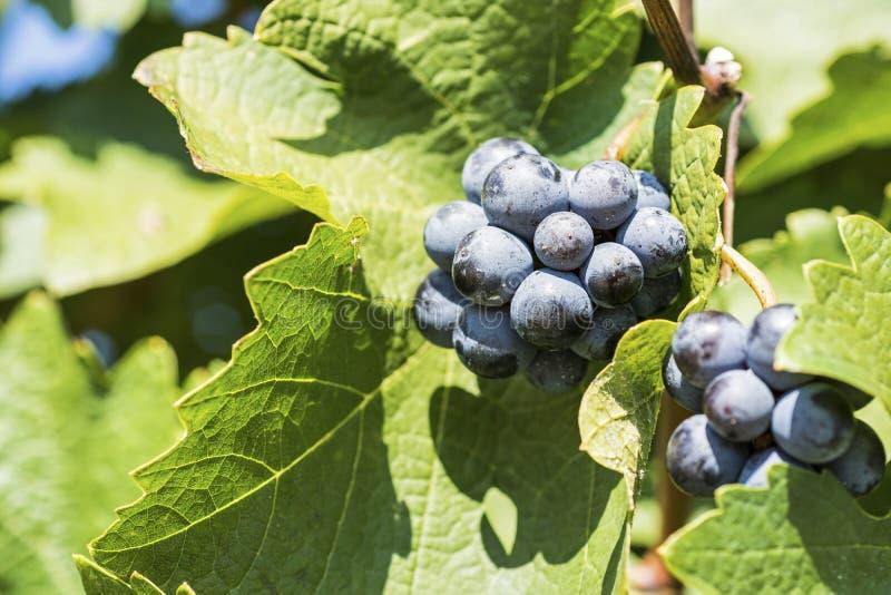在秋天的有机葡萄 从藤的成熟葡萄吊 日落的葡萄园在秋天收获 免版税库存图片