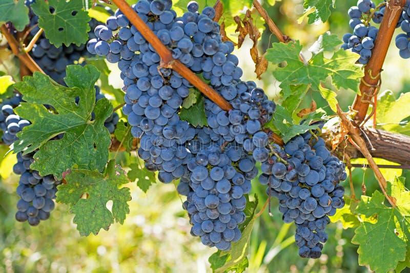 在秋天的有机葡萄 从藤的成熟葡萄吊 日落的葡萄园在秋天收获 图库摄影