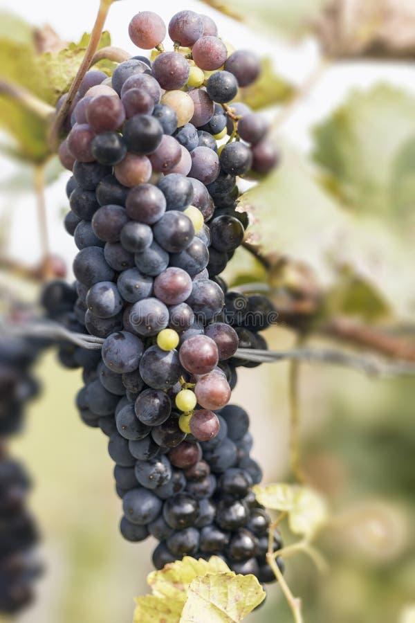 在秋天的有机葡萄 从藤的成熟葡萄吊 日落的葡萄园在秋天收获 免版税图库摄影