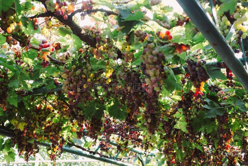在秋天的有机葡萄 从藤的成熟葡萄吊 日落的葡萄园在秋天收获 库存照片