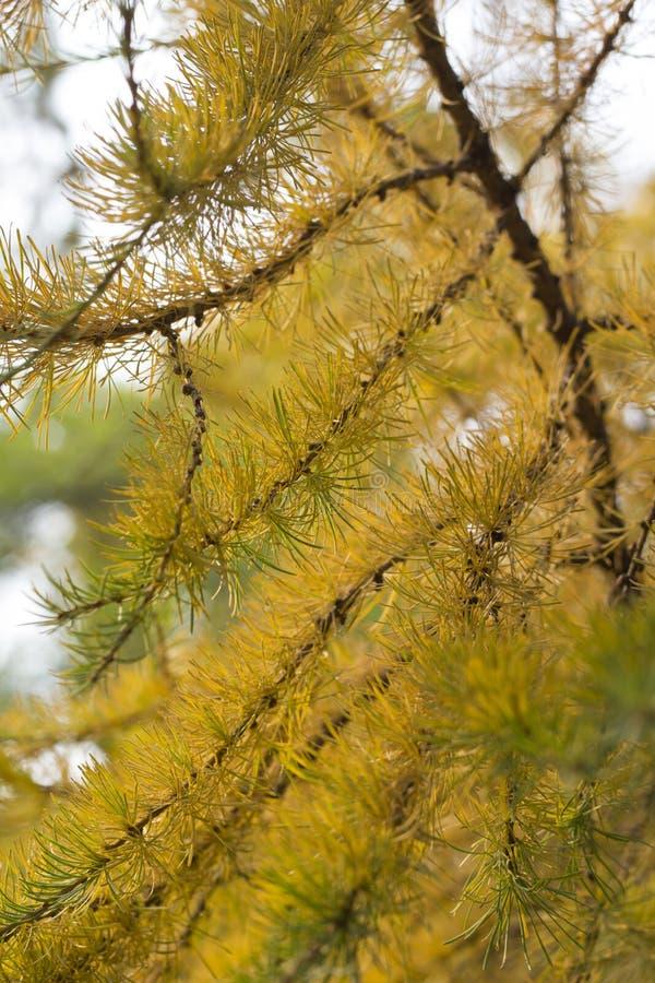 在秋天的杉木 库存照片