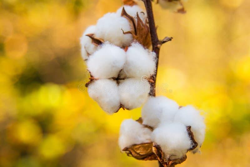 在秋天的棉花 库存照片