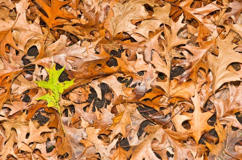 在秋天的橡木叶子在地面 免版税库存图片