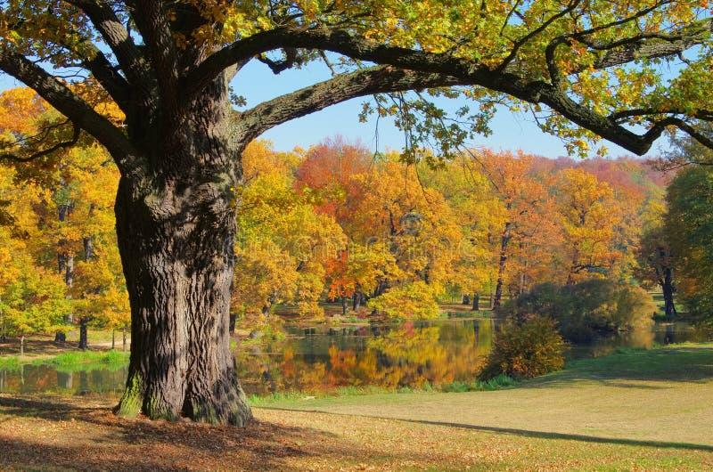 在秋天的橡树 免版税库存照片