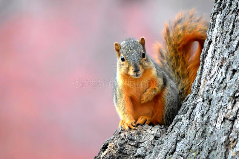 在秋天的灰鼠 免版税库存照片