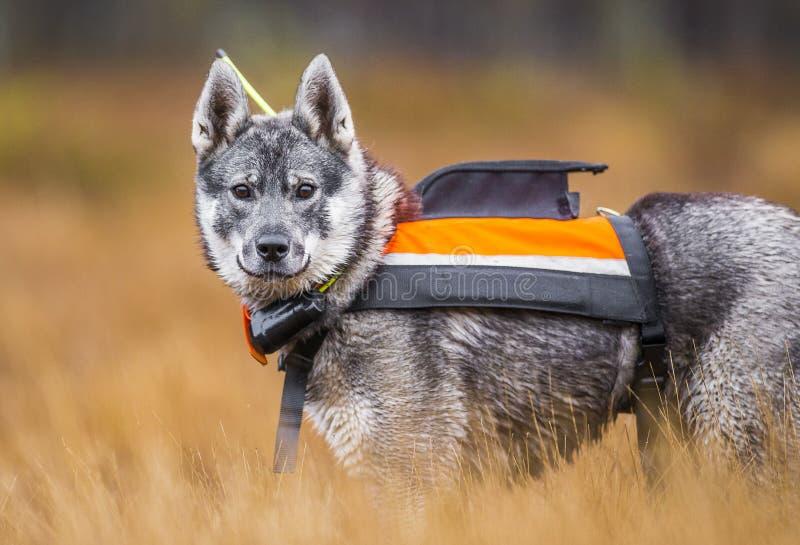 在秋天的瑞典语Moosehound 免版税库存照片