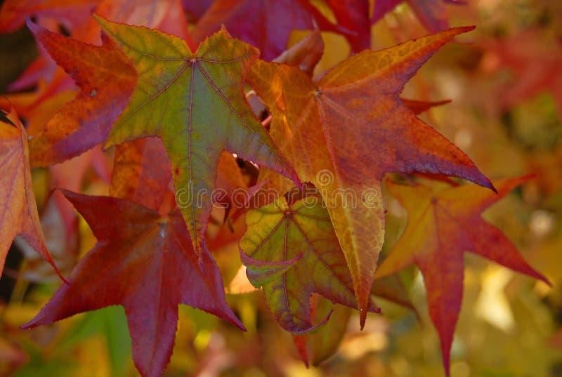在秋天的精采槭树叶子 图库摄影