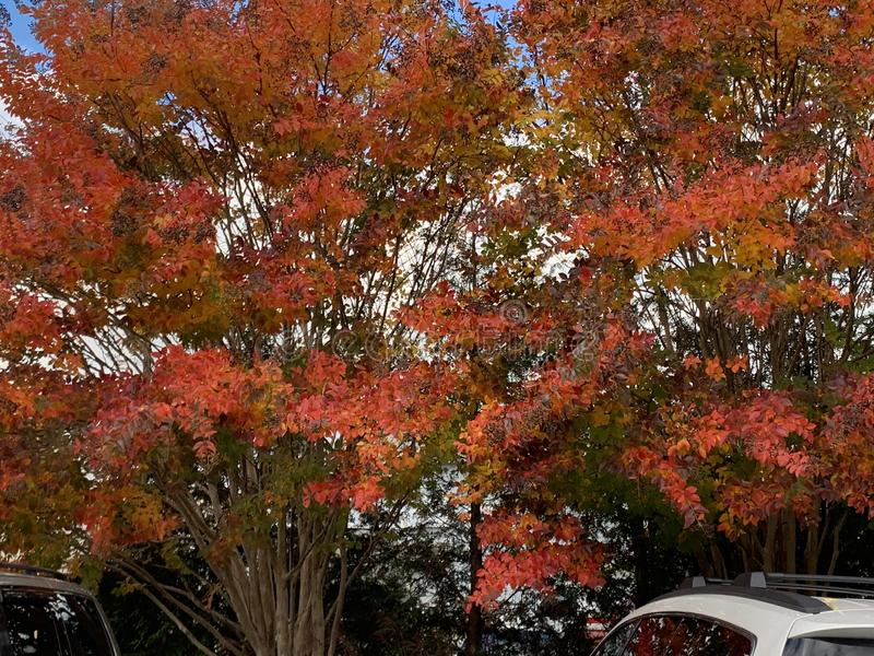 在秋天的红色和桃红色树 库存照片