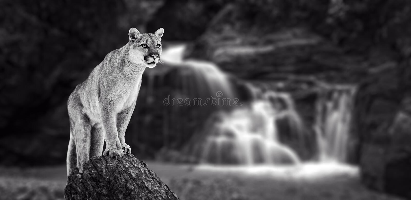 在秋天的美洲狮,美洲狮 免版税库存照片
