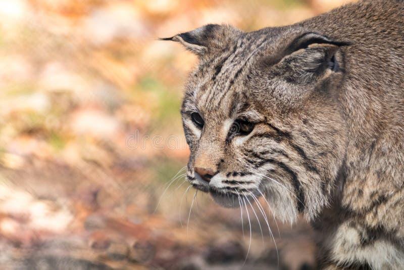 在秋天的美洲野猫旁边画象 免版税库存图片
