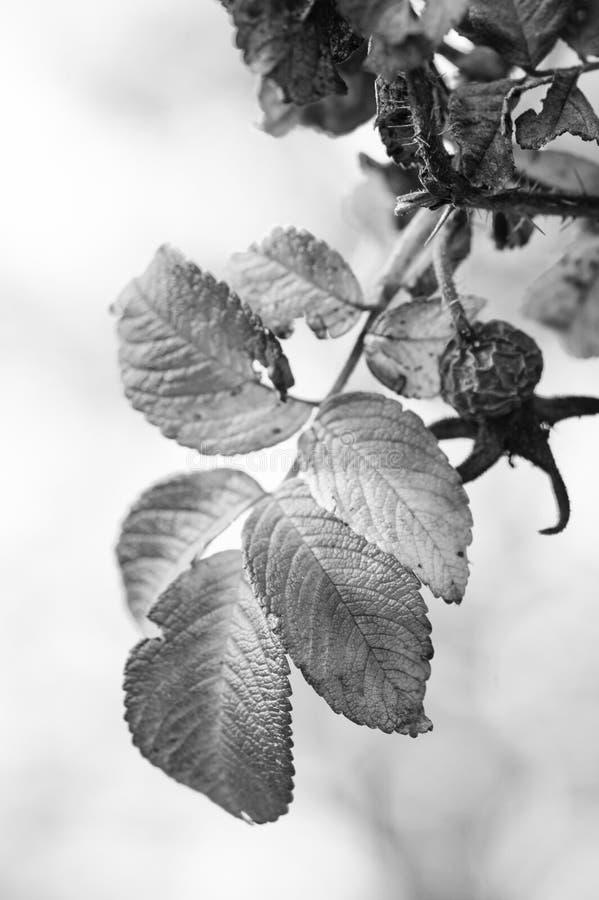 在秋天的野玫瑰果 免版税库存图片