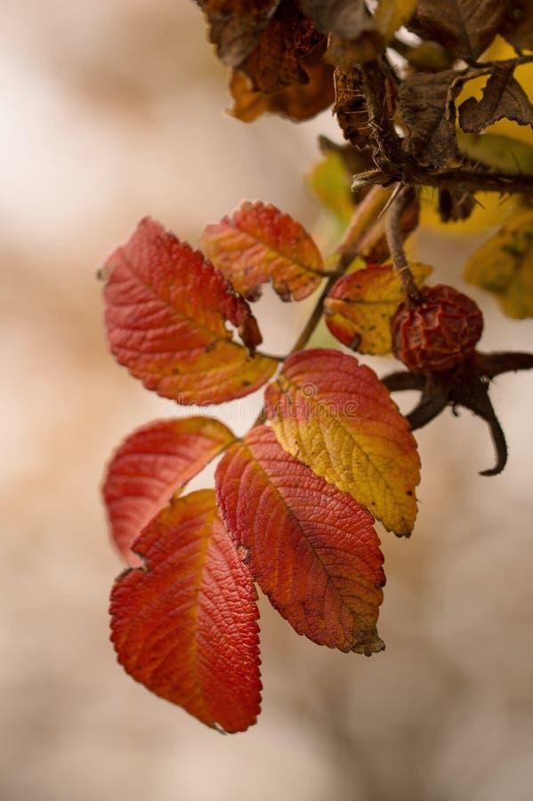 在秋天的野玫瑰果 库存图片
