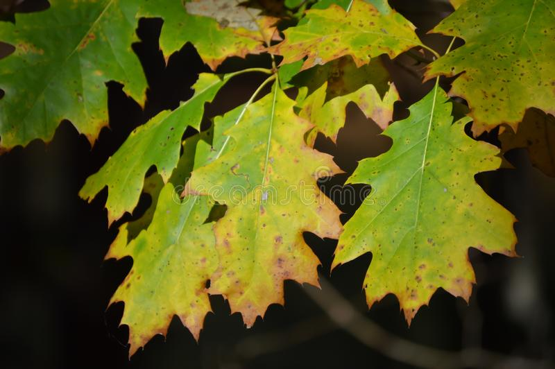 在秋天的金黄黄色和绿色树叶子 库存照片