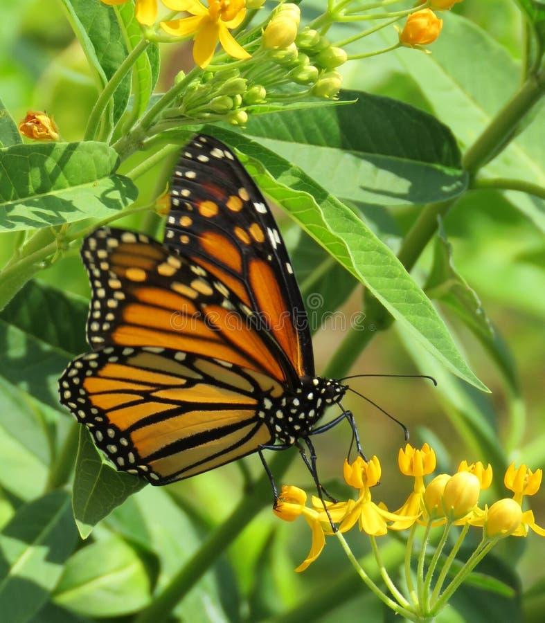 在秋天的黑脉金斑蝶 库存照片