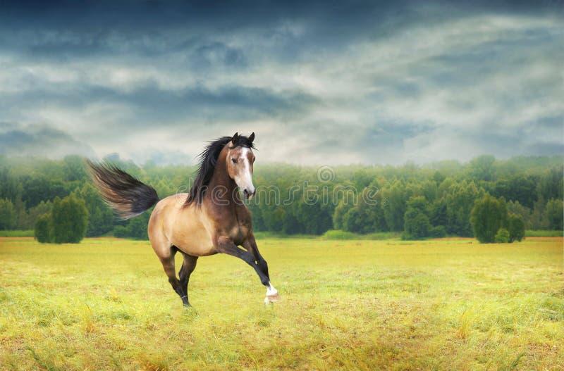在秋天背景的跑的疾驰的马破晓 库存照片