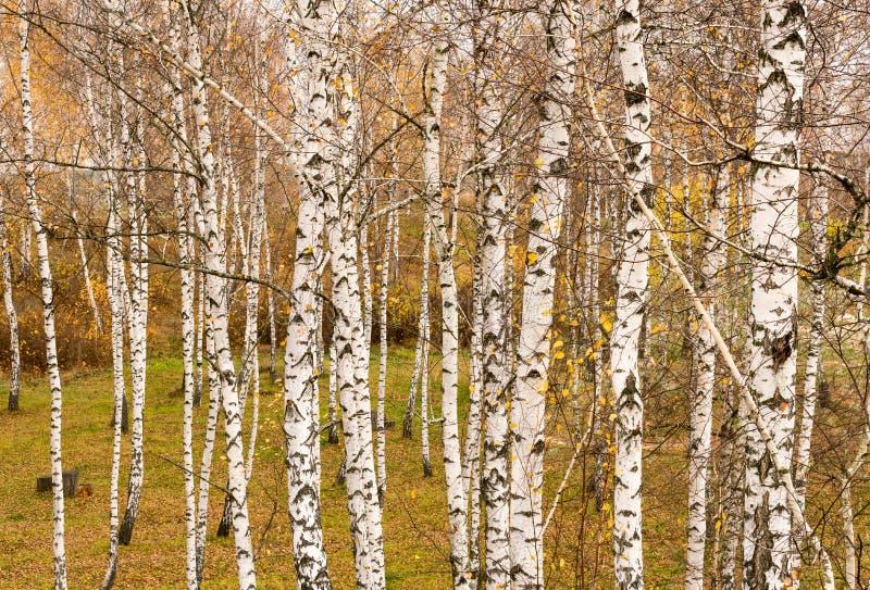 在秋天自然状态的背景的白桦 免版税库存照片